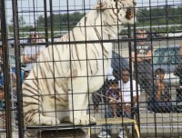 White tiger at Kings County Fair